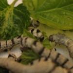 Los gusanos de seda sólo se alimentan de hojas de morera