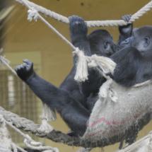 Gorilas en el Parque Natural de Cabárceno