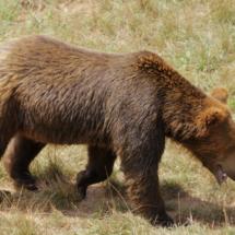 Osos pardos en el Parque Natural de Cabárceno