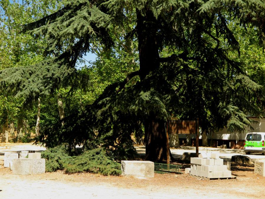 Cedro del reservado de la Casa de Campo