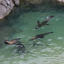 Leones marinos en la Península de la Magdalena