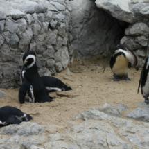 Pingüinos en la Península de la Magdalena