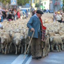Ovejas trashumantes en Madrid reivindicando las cañadas