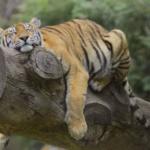 Tigre del Safari Park Madrid, en Aldea del Fresno
