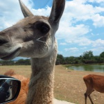 Safari Madrid, un trocito de África en Aldea del Fresno