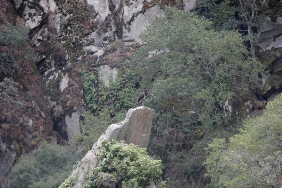 Cigüeña negra en Arribes del Duero