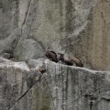 Buitres en el entorno de las Arribes del Duero