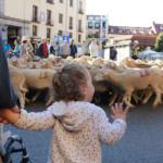 Ovejas trashumantes en Madrid con niños
