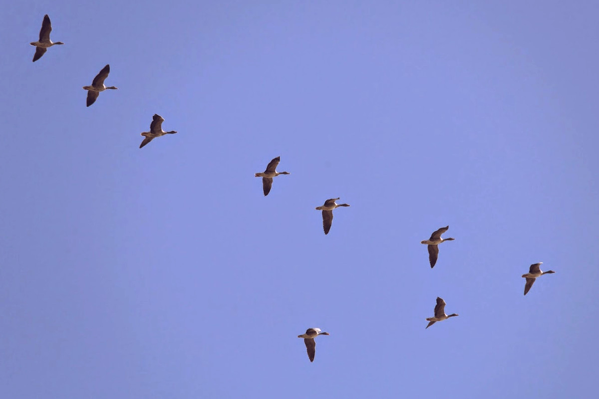 Bandada de patos volando en formación