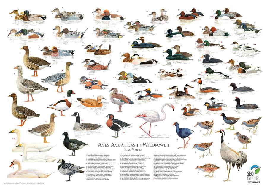 Aves acuáticas en España
