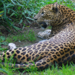 Leopardo del Zoo de Santillana del Mar