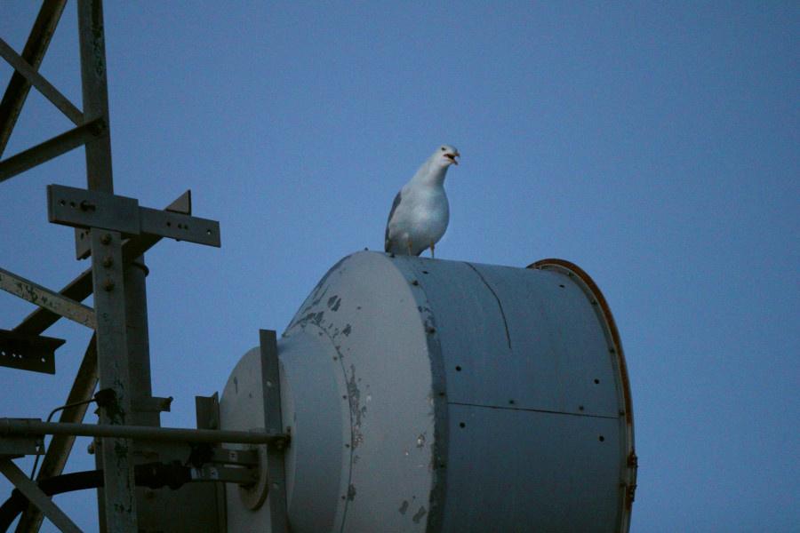 La espátula común, un ave migratoria, es otro de los atractivos del entorno del Faro de Roche