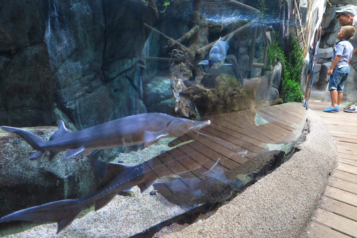 Tanque de peces grandes en el Acuario de Gijón