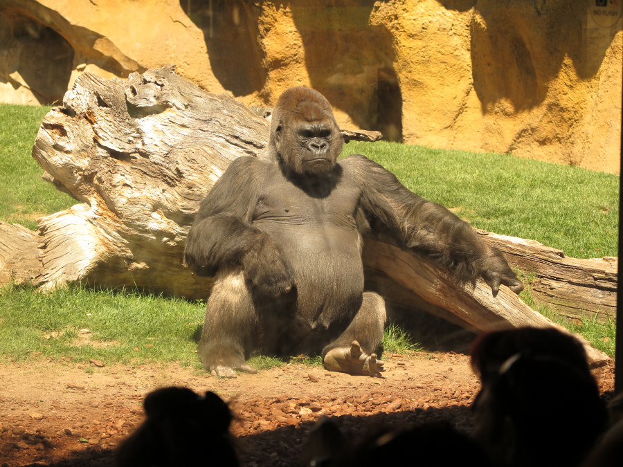 Gorila del Bioparc de Valencia