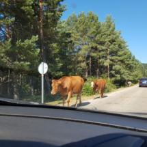 El ganado campa a sus anchas por los alrededores de la Laguna Negra