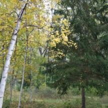 Abedules y pinos nórdicos del bosque finlandés de Madrid