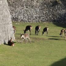 Ciervos de la Ciudadela de Jaca