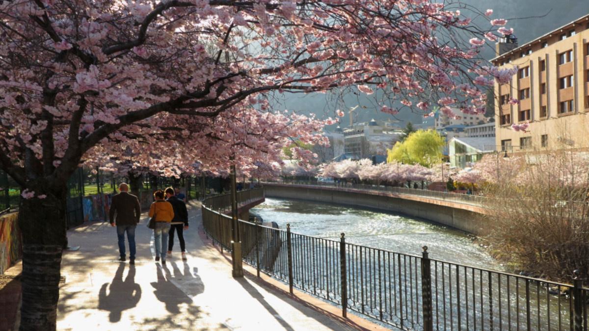 Paseo junto al río Valira con los cerezos en flor