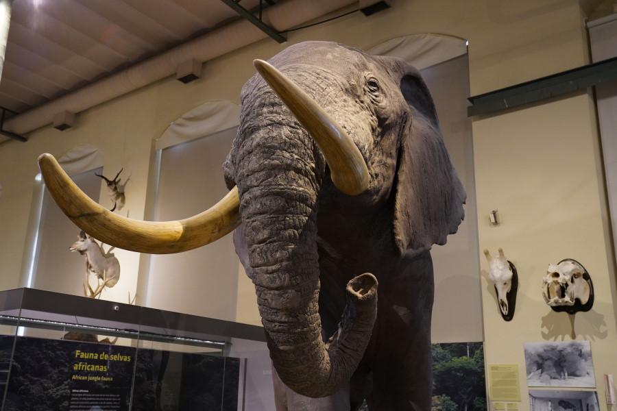 La increíble historia del elefante africano del Museo de Ciencias Naturales de Madrid - PlanesConHijos.com