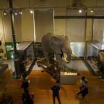 La increíble historia del elefante africano del Museo de Ciencias Naturales de Madrid