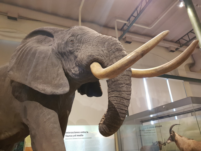 Elefante del Museo de Ciencias Naturales de Madrid