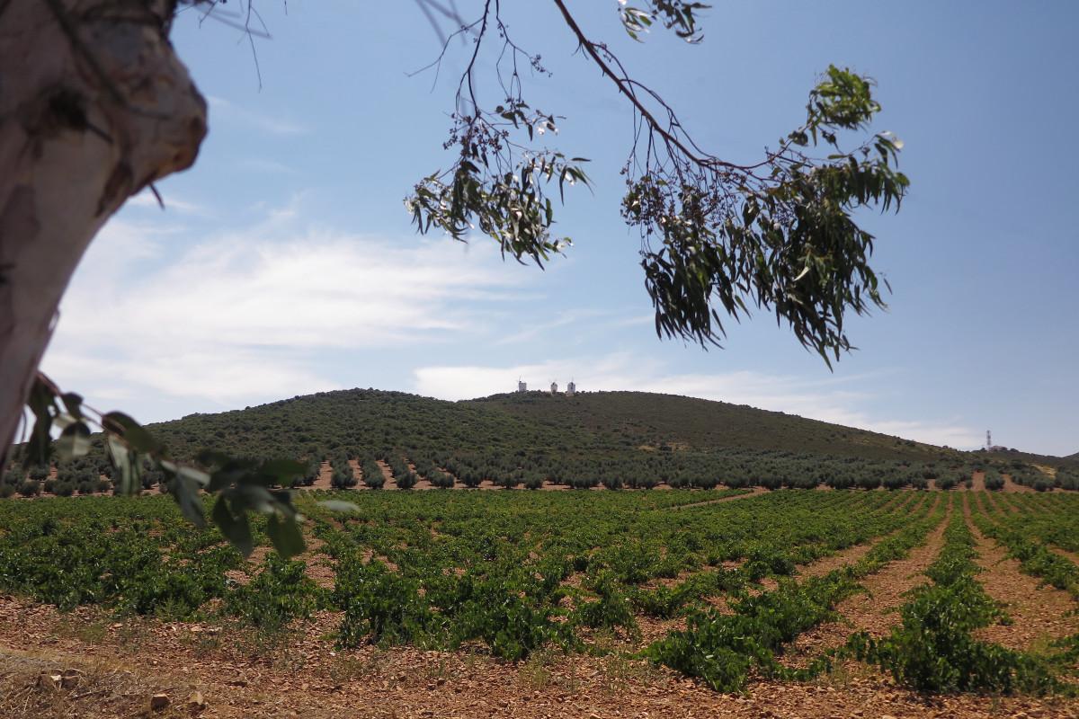 Campos de viñas y olivos en Castilla-La Mancha