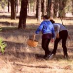 Guía para coger níscalos en Cantalejo, Segovia