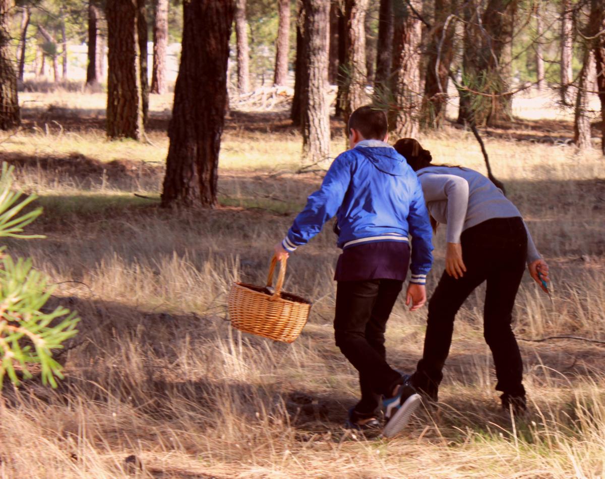 Compartimos una guía para encontrar níscalos en los pinares de Cantalejo