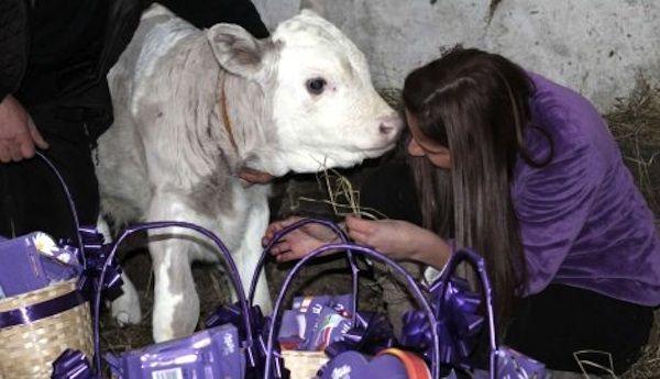 La leche de las vacas es la que proporciona la cremosidad al chocolate Milka