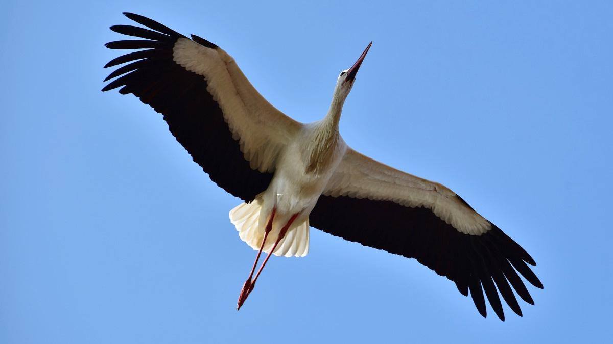 Cigüeña blanca en pleno vuelo