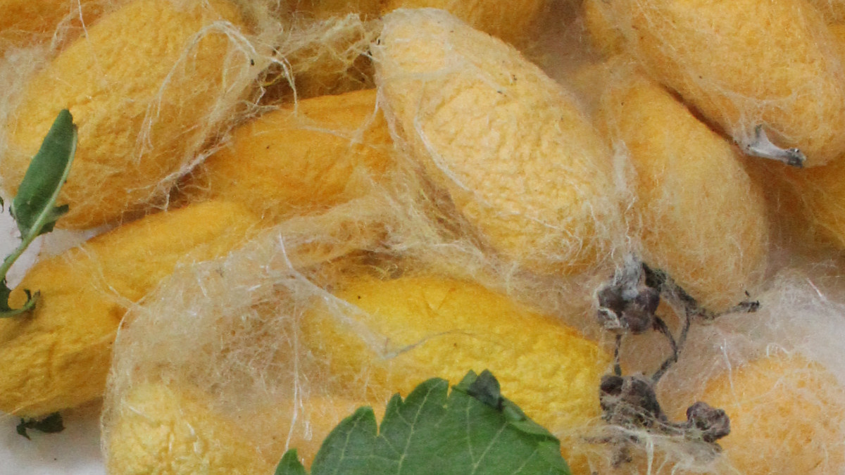 Capullos de seda