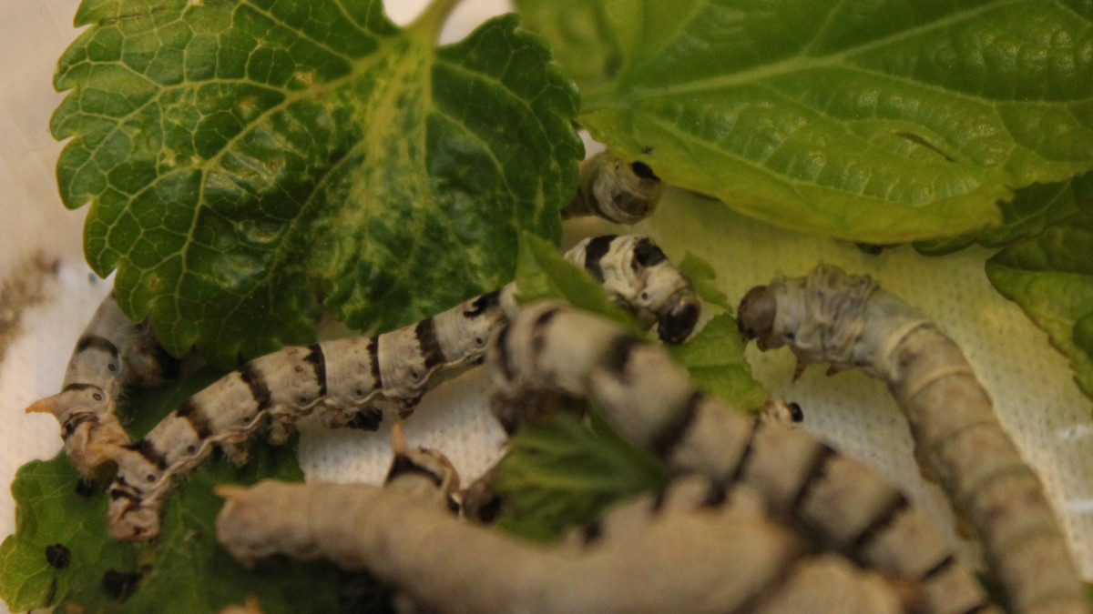 Gusanos de seda comiendo hojas de morera