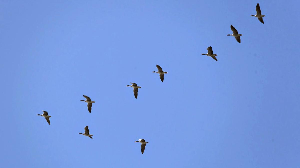 Bandada de patos volando